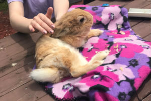 This bunny named Strawberry is one of several that visited Emerson Junior-Senior High School. This bunny couldn't hop properly because its back legs were paralyzed.